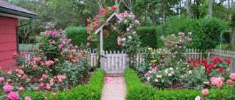 Клумба из роз своими руками – фото оформления розария на даче